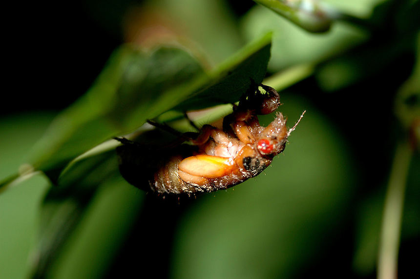 Birth of Cicada Brood X