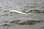Beluga Whales in the Churchill river at Chrghill, Manitoba