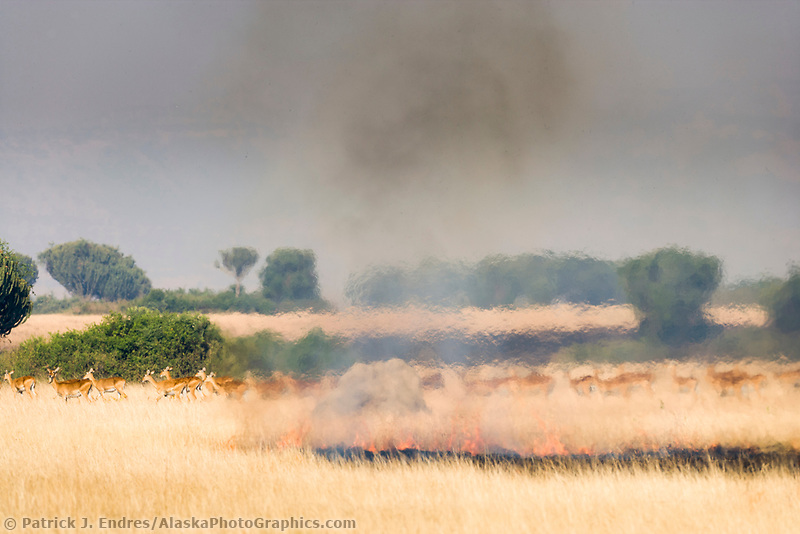 Uganda Kob run from burning grass in Queen Elizabeth National Park, Uganda, East Africa