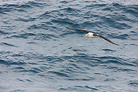 Black-browed albatross soars over the southern ocean.