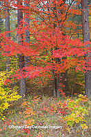 64776-01409 Red tree and fall color Schoolcraft County Upper Peninsula Michigan