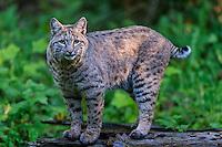 Bobcat (Lynx rufus).  Pacific Northwest forest.