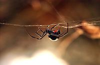Black Widow, Md.