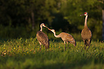 Family of sandhill cranes