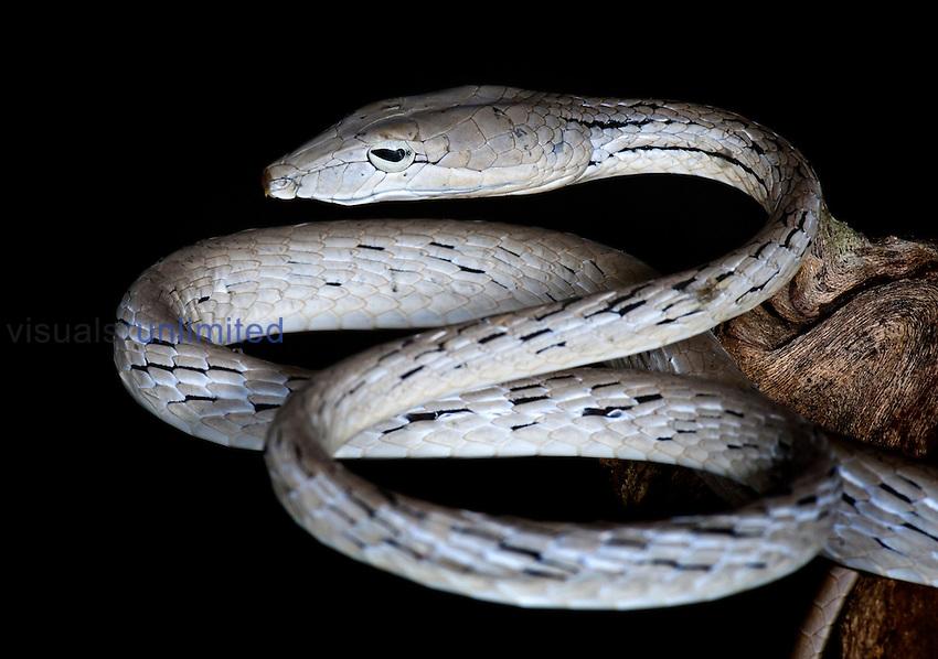 Oriental Whip Snake (Ahaetulla prasina), captive.