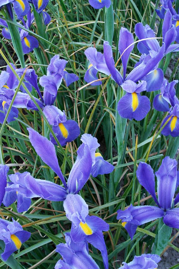 Field of blue iris, Mount Vernon, Skagit Valley, Skagit County, Washington, USA