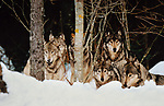 Gray wolf pack, Canada