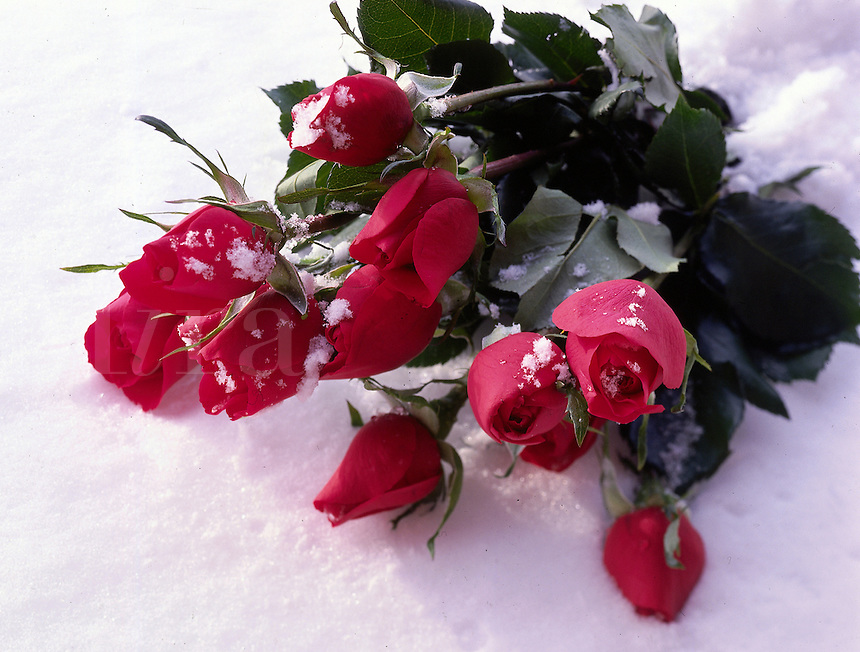 Bouquet of red roses in the snow.