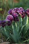 A picture taken on March 16, 2018 shows the Faqqua Iris flowers are seen in a field in the West Bank City of Jenin. This kind of Iris had been registered by the Palestine Society of Wild Life in Faqqoua and other Palestinian areas. This flower is considered the national flower of Palestine, which was adopted as a national flower by the Palestinian Council of Ministers in 2016. Photo by Ayman Ameen