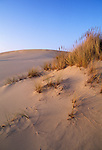 Beachgrass (Ammophila arenaria) on sand dunes; Oregon Dunes National Recreation.Area; Oregon coast, USA..#2307-1919