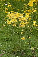 Gewöhnliches Jakobs-Greiskraut, Jakobsgreiskraut, Greiskraut, Jacobaea vulgaris, Senecio jacobaea, Jacobea, Staggerwort