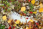 Jawbone in mosses and lichen, Mackenzie Mountains, Northwest Territories, Canada