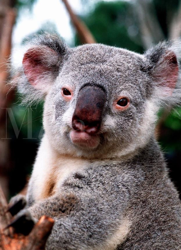 Portrait of a captive Koala bear. Australia.