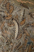 Eichen-Prozessionsspinner, Eichen - Prozessionsspinner, Eichenprozessionsspinner, Raupe, Raupen, Raupe läuft über Gespinstnest, Gespinstsack am Stamm einer Eiche, hier verbringen die Raupen den Tag und verpuppen sich schließlich, Thaumetopoea processionea, oak processionary moth