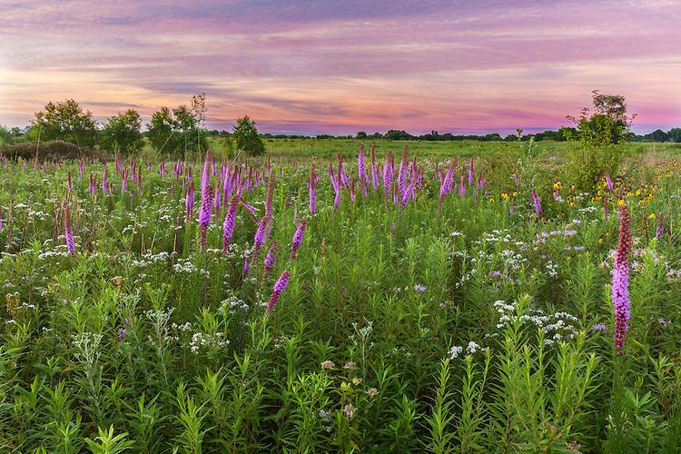 Blazing Star ((Liatris aspera), Drooping Coneflower (Ratibida pinnata), and Whorled Milkweed (Asclepias verticillata) in bloom in summer at sunrise in Springbrook Prairie; DuPage County, IL