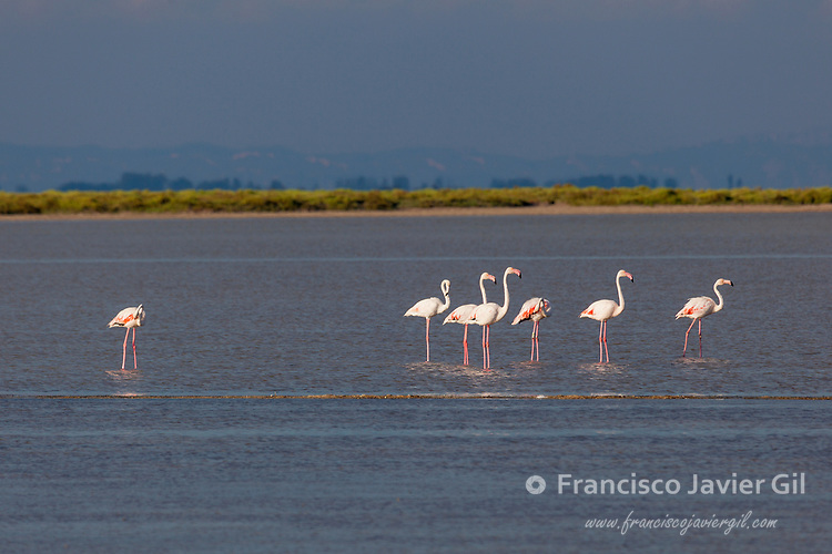 Greater Flamingo, Camargue, Bouches-du-Rhône, France