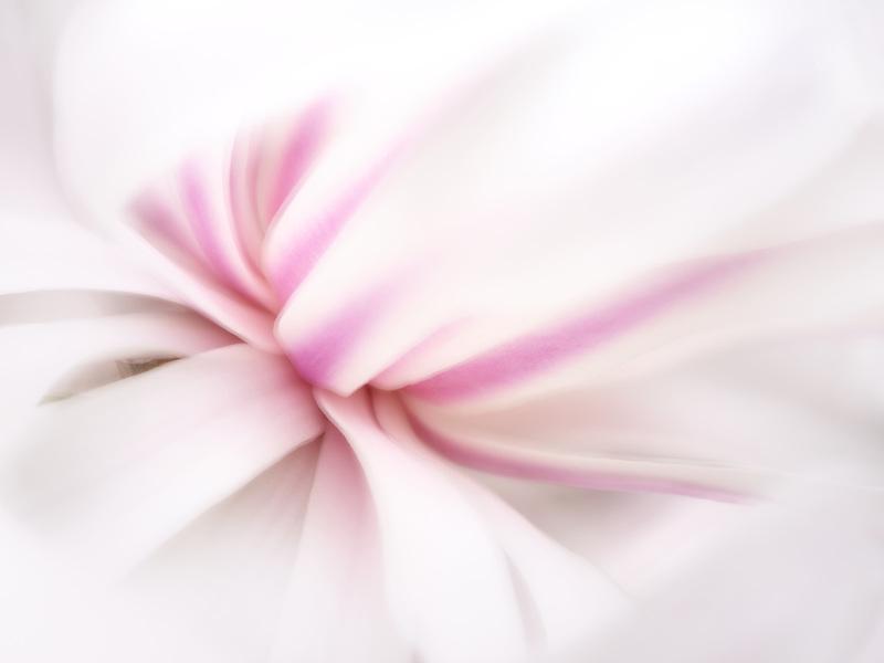 Magnolia flower close up. Oregonp