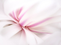 Magnolia flower close up. Oregonp