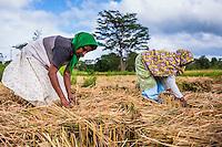 Dambulla, Sri Lankan women working in a wheat field just outside Dambulla, Central Province, Sri Lanka, Asia. This is a photo of Sri Lankan women working in a wheat field just outside Dambulla, Central Province, Sri Lanka, Asia.
