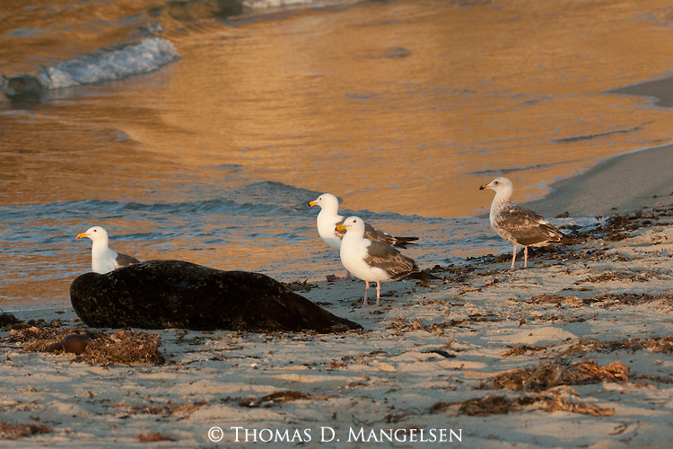 Gulls walk near a harbor seal at the children's pool beach in La Jolla, California.