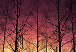 Aspens at sunset, New Mexico