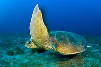 Loggerhead Turtle (Caretta caretta) in Juno Beach, FL.