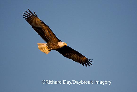 00807-036.12 Bald Eagle (Haliaeetus leucocephalus) in flight over Mississippi River, Alton, IL