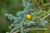 01490-00317 Common Yellowthroat (Geothlypis trichas) male in Blue Atlas Cedar Marion Co. IL