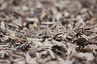 Western Diamondback Rattlesnake (Crotalus atrox), adult camouflaged in leaf litter, Sinton, Corpus Christi, Coastal Bend, Texas, USA