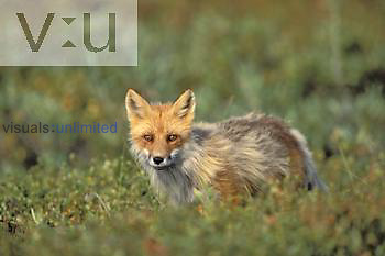 Red Fox in the process of shedding its fur. ,Vulpes vulpes, Denali National Park, Alaska, USA