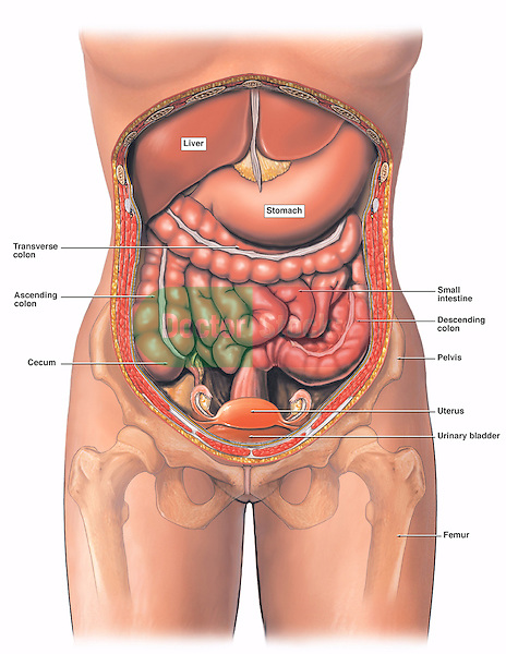 Anatomy of the female abdomen and pelvis cut away view doctor stock this medical exhibit diagram illustrates the anatomy of the female abdomen and pelvis from an anterior ccuart