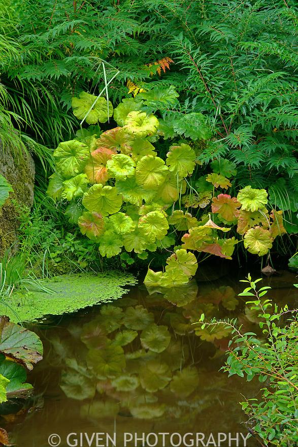 Indian Rhubarb and pond, Washington