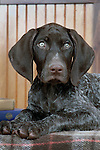 German Shorthair Pointer Shopping cart has 3 Tabs:<br /> <br /> 1) Rights-Managed downloads for Commercial Use<br /> <br /> 2) Print sizes from wallet to 20x30<br /> <br /> 3) Merchandise items like T-shirts and refrigerator magnets