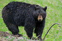 Wild Black Bear (Ursus americanus) covered with clinging weed seeds.  Western U.S., Spring.