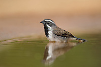 578670047 a wild black-throated sparrow amphispiza bilineata bathes in a small pond on santa clara ranch starr county texas united states