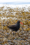 Black Oystercatcher, Ediz Hook, Port Angeles, Washington.