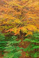 ORPTH_114 - USA, Oregon, Portland, Hoyt Arboretum, Autumn color of American beech trees (Fagus grandifolia).