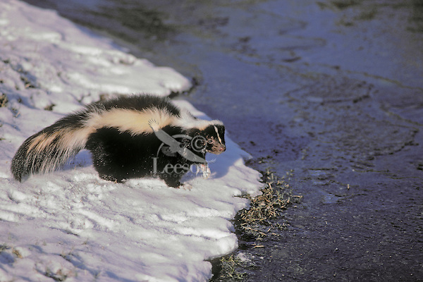Striped Skunk - ranges through southern.Canada and most of USA. Late autumn snowfall..Will den up for winter. (Mephitis mephitis).