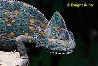 CH51-675z  Female Veiled Chameleon in display color, Chamaeleo calyptratus