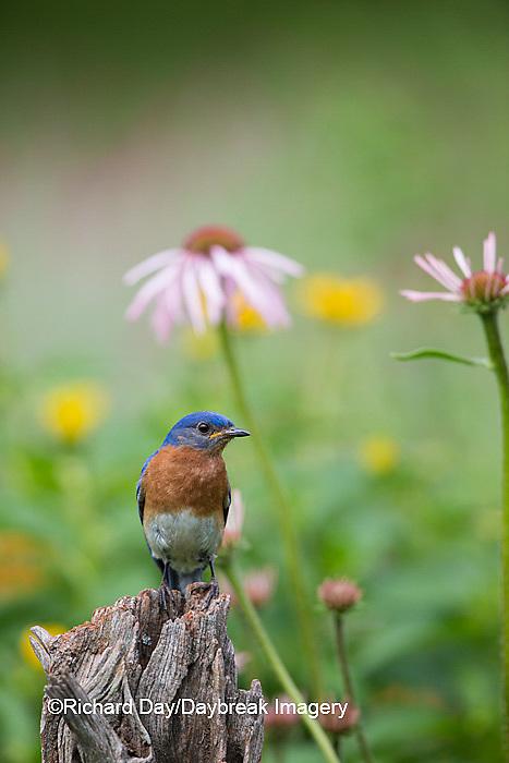 01377-18016 Eastern Bluebird (Sialia sialis) male in flower garden, Marion Co., IL