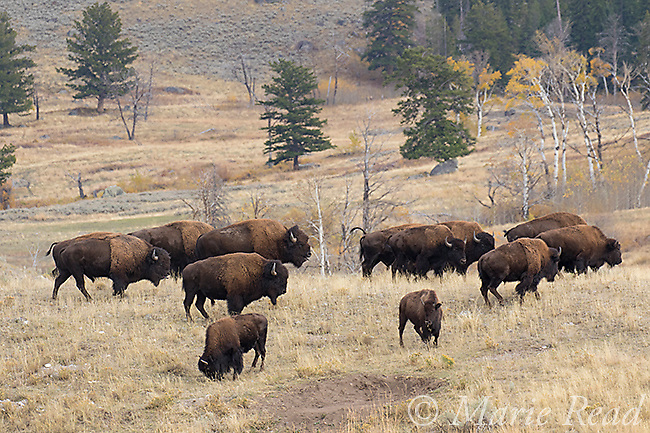 American Bison (AKA Buffalo) (Bison bison), herd of adults and young, Yellowstone National Park, Wyoming, USA