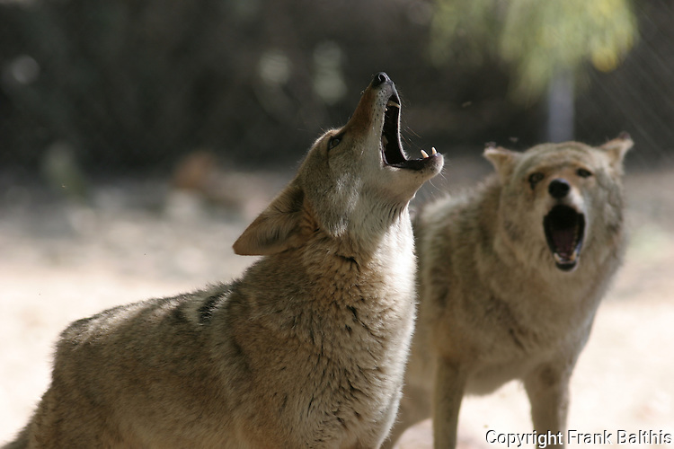 coyotes howling at the Living Desert