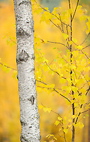 Birch tree, Betula L in Oulanka, Finland.