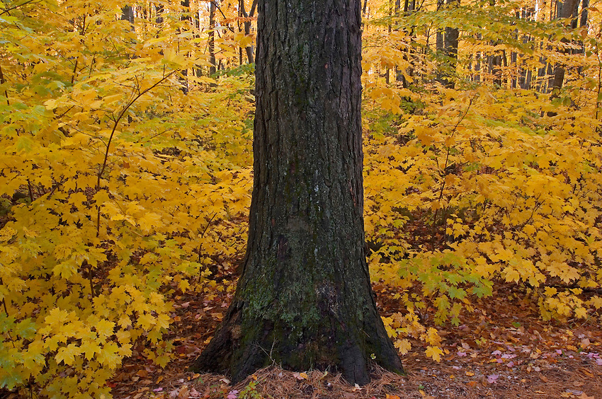 Large trees and fall color in Tahquamenon Falls State Park near Newberry Michigan.