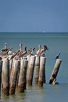 Brown Pelicans check out Gulf of Mexico near historic Naples Fishing Pier, Naples, Florida, USA, Oct. 3, 2011. Photo by Debi Pittman Wilkey