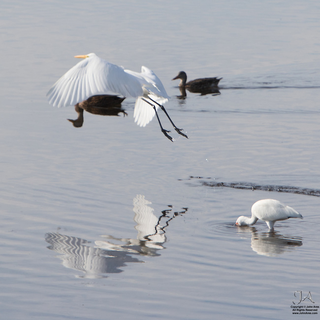 Egrets are extremely powerful.  They can carry ducks.  Well, maybe not.  Actually the duck underneath is a reflection of a duck unseen and covered by the Egret body.