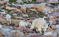 Mountain Goat (Oreamnos americanus) nanny with young kids in the Beartooth Mountains near the Wyoming/Montana border.  July.