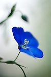 close-up of a blue flax flower<br /> -commercial/editorial licensing for this image is available through: http://www.gettyimages.com/detail/200457423-001/Stone