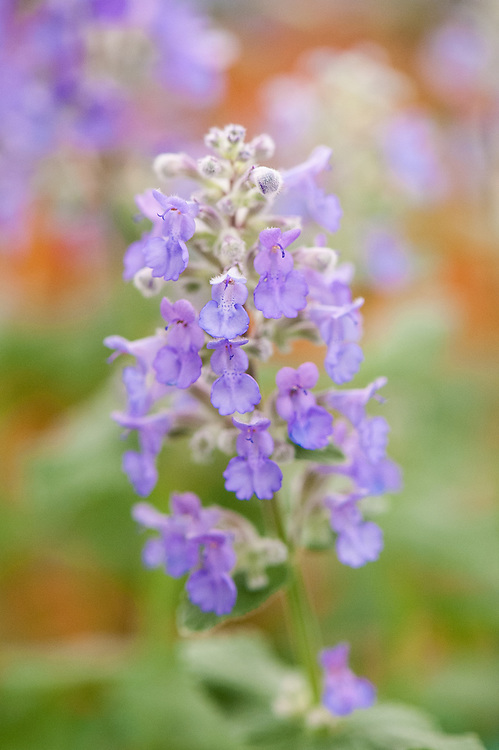 Nepeta grandiflora 'Summer Magic', a compact variety that flowers continuously from May to September. Bred by Malcolm Spencer and introduced at RHS Chelsea in 2013.