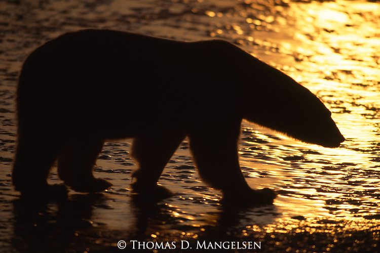 A polar bear is silhouetted against the ice at sunset in Wapusk National Park, Manitoba, Canada.